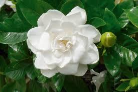 iFlor de la gardenia